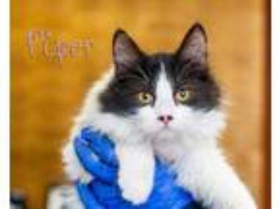 Adopt Piper a Black & White or Tuxedo Domestic Mediumhair (medium coat) cat in