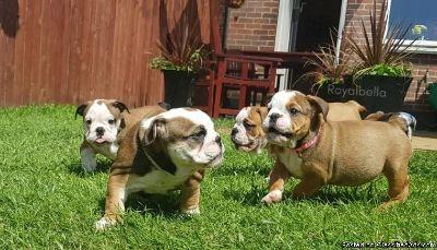**English Bulldog Puppies