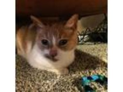 Adopt Archie a Tan or Fawn Domestic Shorthair cat in Portland, OR (24985240)