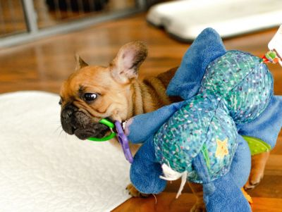 French Bulldog PUPPY FOR SALE ADN-105360 - Available French Bulldog Puppy Chase