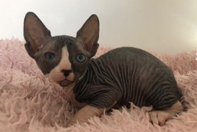Sphynx Kittens - For Sale Classifieds - Claz org