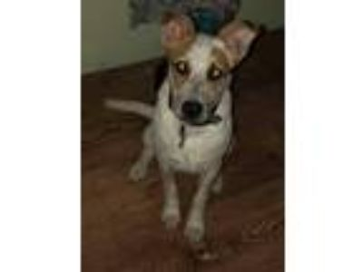 Adopt Boston a Brown/Chocolate - with White Bull Terrier / Mixed dog in