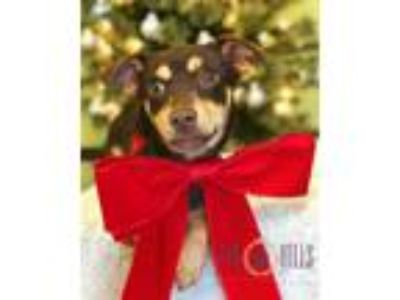 Adopt Ember a Brown/Chocolate - with Tan Miniature Pinscher / Miniature Pinscher