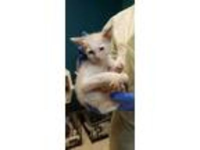 Adopt Piper a White Domestic Shorthair / Domestic Shorthair / Mixed cat in