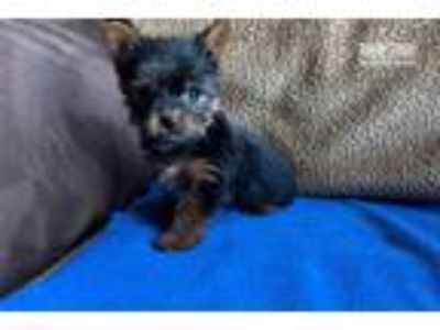 Yorkie Pittsburgh Philly Nj NYC MUST