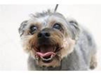 Adopt Apollo a Yorkshire Terrier, Poodle