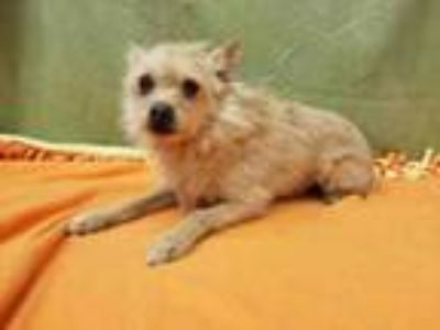 Adopt DOC a Cairn Terrier, Mixed Breed