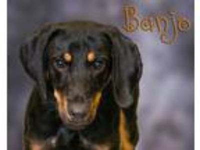 Adopt Banjo a Black - with Tan, Yellow or Fawn Doberman Pinscher / Coonhound