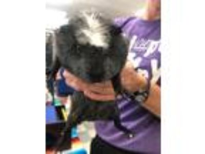 Adopt Monica a Guinea Pig small animal in Libertyville, IL (25796835)