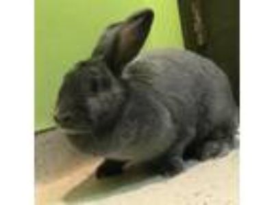 Adopt Fannie a Grey/Silver American / American / Mixed rabbit in Janesville