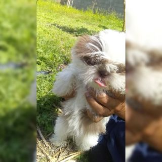 Imperial Shihtzu Female