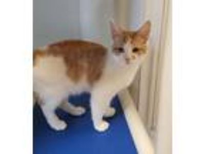 Adopt Sebastian a Domestic Short Hair