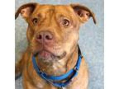 Adopt Hazel a Brown/Chocolate American Pit Bull Terrier / Mixed dog in Menands