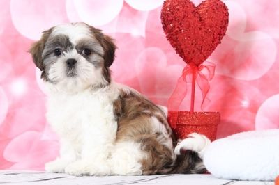 Zuchon PUPPY FOR SALE ADN-63458 - Elsa Precious Female Teddy Bear Puppy
