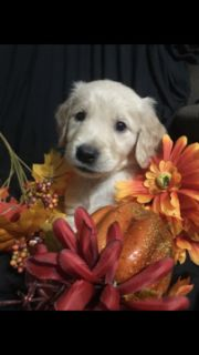 Golden Retriever PUPPY FOR SALE ADN-98393 - Gorgeous Goldens