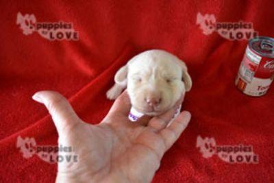 Labrador Retriever PUPPY FOR SALE ADN-98598 - AKC  FULL REGISTRATION