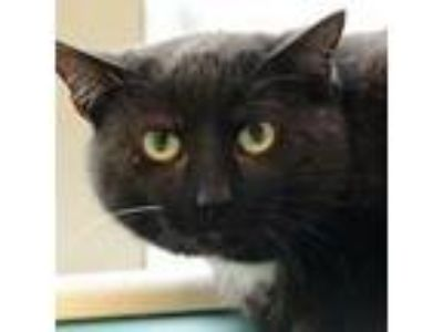 Adopt Ben a All Black Domestic Shorthair / Domestic Shorthair / Mixed cat in
