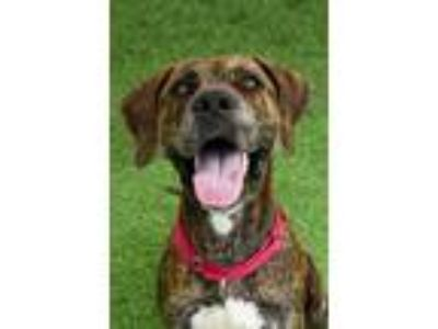 Adopt Mike a Plott Hound