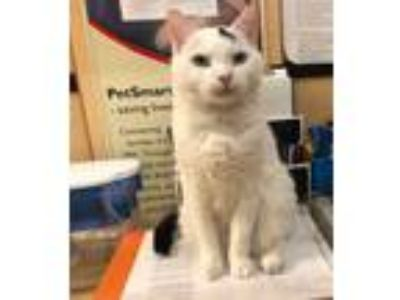 Adopt Tommy a White (Mostly) Domestic Shorthair (short coat) cat in Worcester