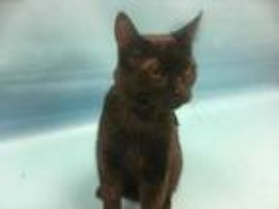 Adopt Onyx a All Black Domestic Shorthair / Mixed cat in Coon Rapids