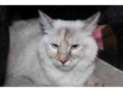 Adopt Stella a Cream or Ivory Siamese / Domestic Shorthair / Mixed cat in Palm