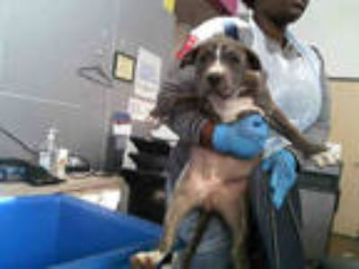 Adopt PEARL a Brindle American Pit Bull Terrier / Mixed dog in Dallas