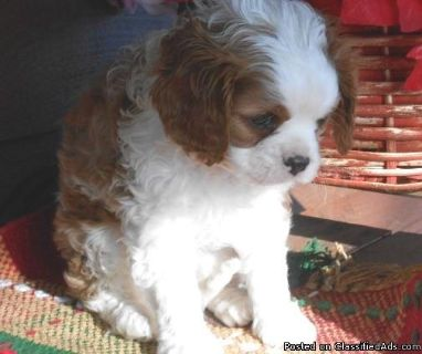 Cavalier King Charles Spaniel, Toby