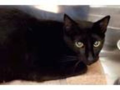 Adopt Clarence a All Black Domestic Shorthair / Domestic Shorthair / Mixed cat