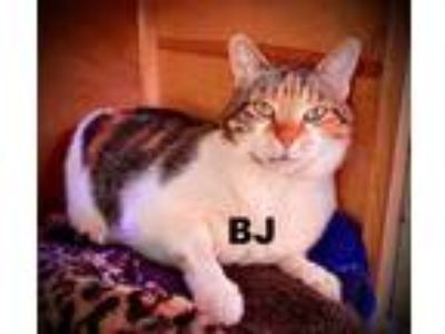Adopt BJ a Domestic Shorthair / Mixed (short coat) cat in Hoover, AL (24238669)