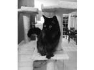 Adopt Mystique Courtesy Post a Domestic Medium Hair