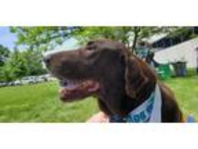 Adopt Gomer a Chocolate Labrador Retriever