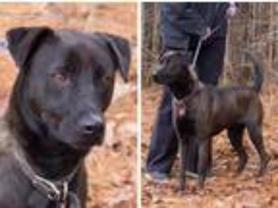 Adopt Lady a Black Labrador Retriever / Mixed dog in Barrington, RI (24354976)