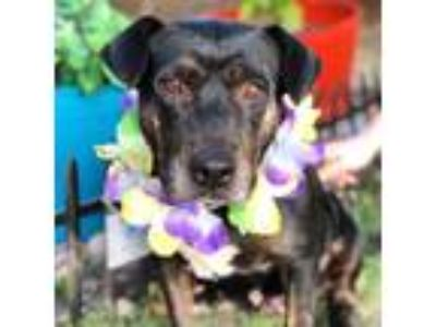 Adopt Daffodil a Brindle - with White Basset Hound / American Staffordshire