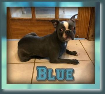 Blue Male Boston Terrier