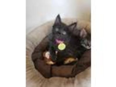 Adopt Juvia a All Black Domestic Mediumhair / Domestic Shorthair / Mixed cat in