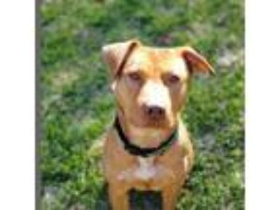 Adopt Sky a American Pit Bull Terrier / American Staffordshire Terrier dog in
