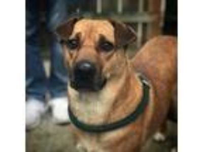 Adopt Mama Bear a Shiba Inu / Shar Pei / Mixed dog in Indianapolis