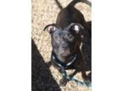 Adopt Jessy a Black American Pit Bull Terrier / Mixed dog in Philadelphia