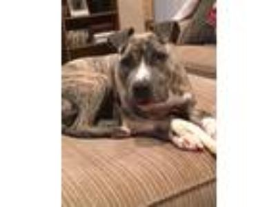 Adopt Ken a Brindle Pit Bull Terrier / Mixed dog in Wichita, KS (23773252)