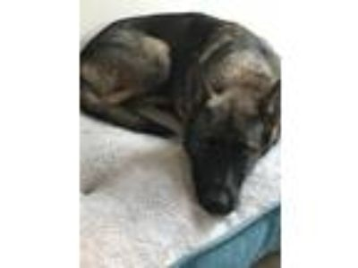 Adopt Kioni a Black - with Tan, Yellow or Fawn German Shepherd Dog dog in