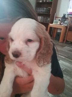 Puppy - Bozeman Classifieds - Claz org