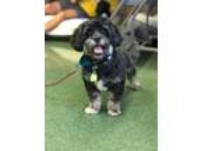 Adopt Gucci a Black - with White Shih Tzu / Mixed dog in Homestead