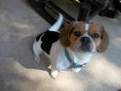 Adopt Lilly a White - with Brown or Chocolate Beagle / Pekingese dog in