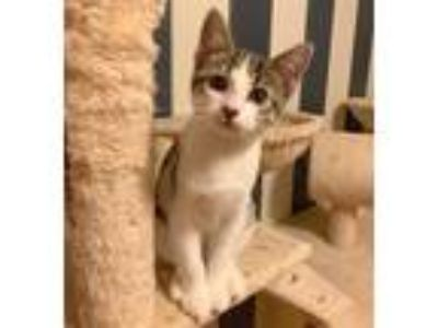 Adopt Tinsley ( Currently in Foster) a Domestic Short Hair