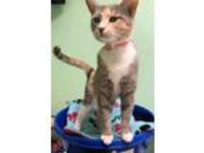 Adopt Meredith a Calico or Dilute Calico Domestic Shorthair (short coat) cat in