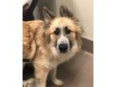 Adopt Dutch a Tan/Yellow/Fawn Great Pyrenees / Mixed dog in Alpharetta