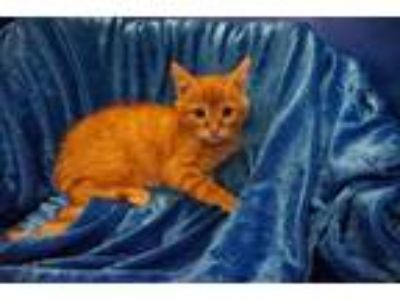 Adopt Gilman a Bengal, Maine Coon