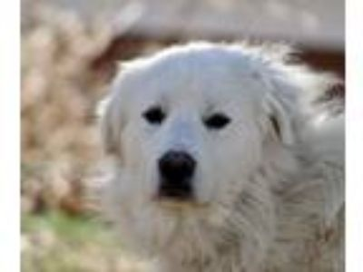 Adopt Zeus a White Great Pyrenees / Mixed dog in Millersville, MD (24378459)