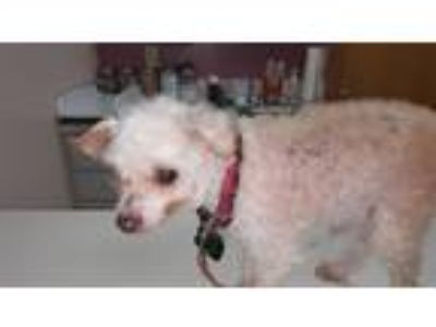 Adopt Myles a White Tea Cup Poodle / Mixed dog in Sheridan, OR (22520135)