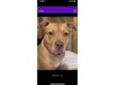 Adopt Duke a Red/Golden/Orange/Chestnut - with White American Staffordshire